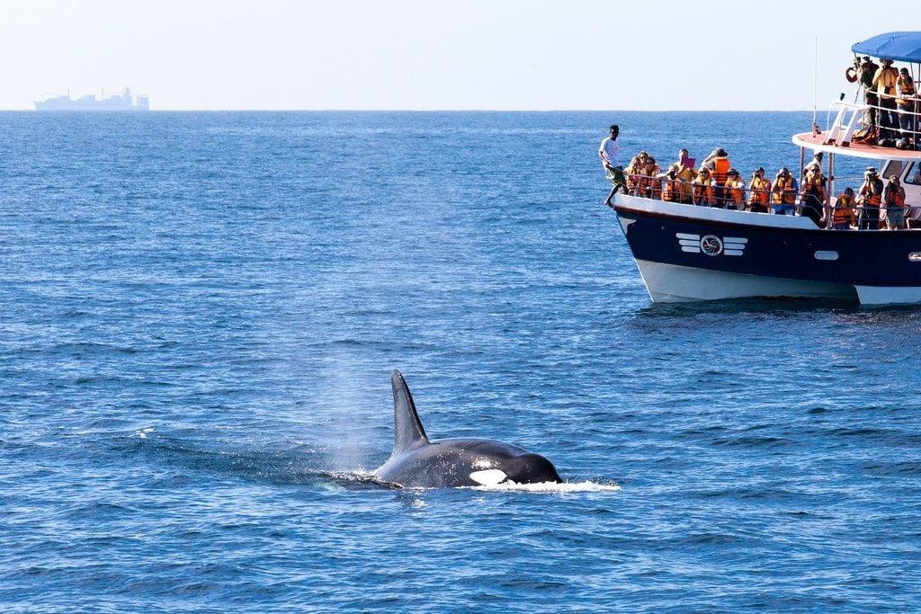 Ein Schwertwal vor der Küste von Mirissa