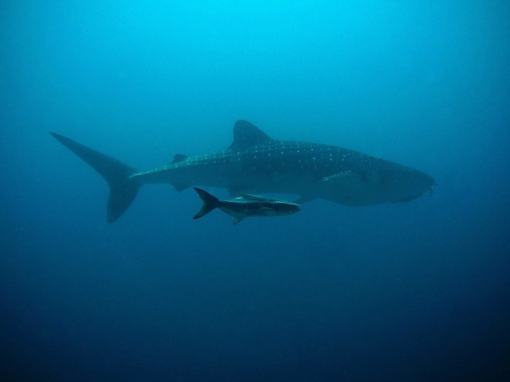 Giant Whale Shark with Baby
